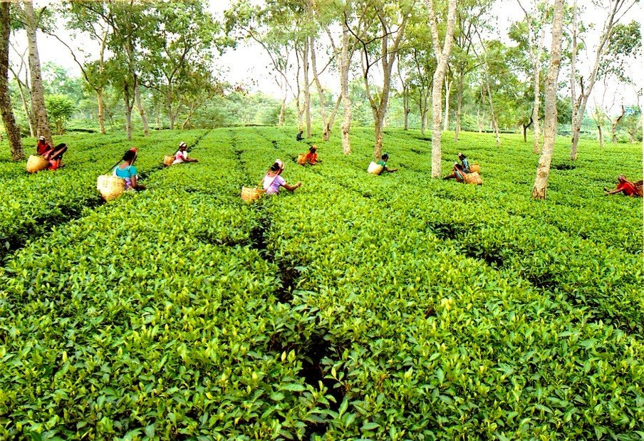 Tea-Industry-CCPA-appeals-for-urgent-intervention